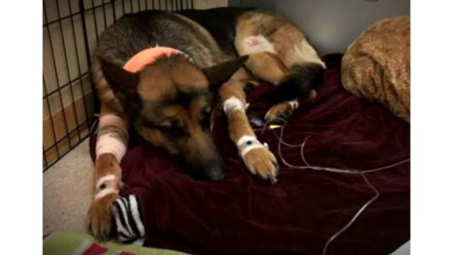 Hero German shepherd beaten, shot while protecting teen during home invasion