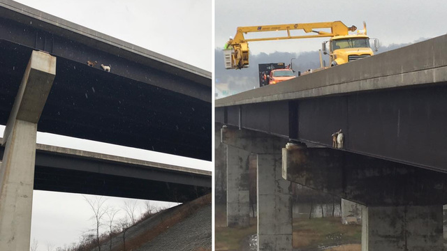 State crews rescue goats stranded on Pennsylvania Turnpike bridge beam