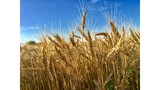Planted wheat acres in Kansas may be lowest in century