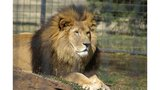 Longtime lion at Rolling Hills Zoo near Salina euthanized
